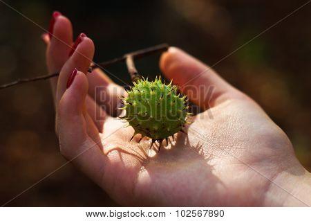 Spiny Chestnut In Girl's Tender Hand