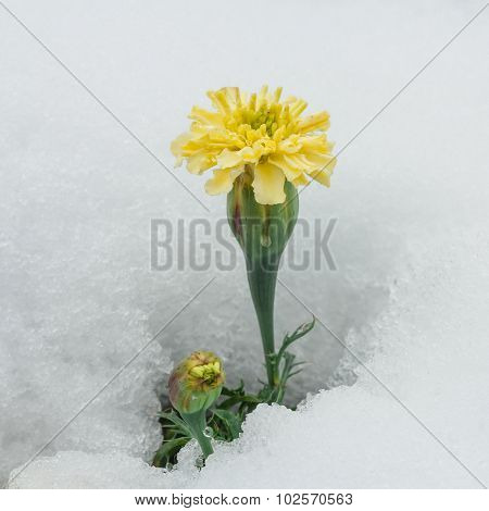 Yellow Chrysanthemum Surrounded By Snow