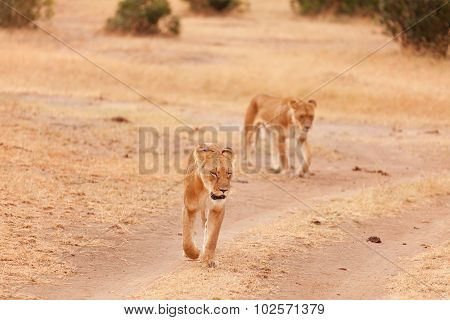 Two Lionesses In Masai Mara
