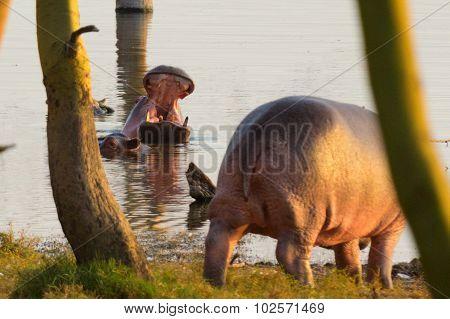 Hippopotamus, Nakuru Lake