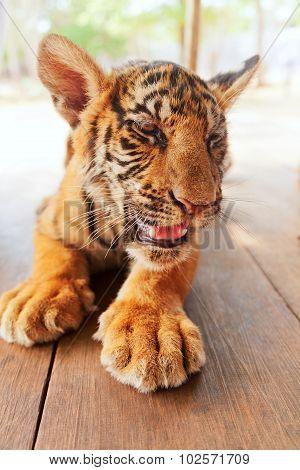 Baby Tiger In Thailand