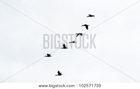 Six Cormorants In Formation On White Sky