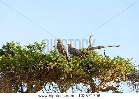 Tawny Eagle, Masai Mara