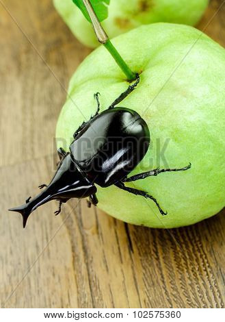 Close up of fighting beetle (rhinoceros beetle) on guava fruit