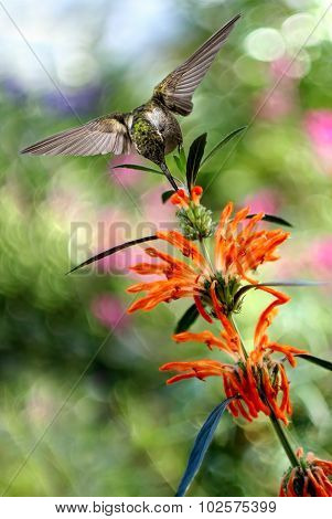Hummingbird Over Blurred Summer Background