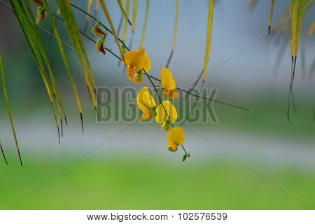 Sesbania flower with coconut leaf