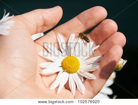 Daisy And Bee In A Hand
