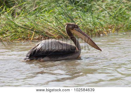 Pelican, Senegal