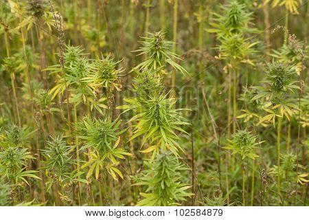 Field Of Cannabis Plants
