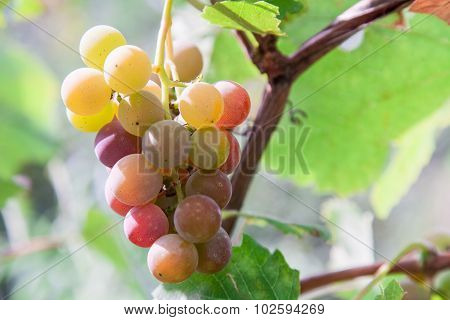 Bunch Of Ripening Wine Grapes