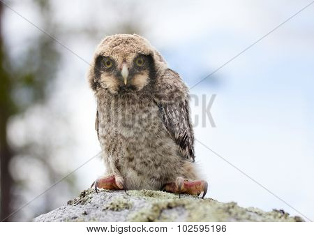 Owl On Stone In The Forest