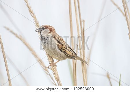 Sparrow Passer domesticus perched on a reed