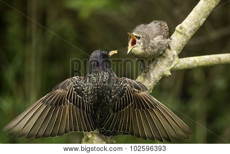 A Starling Sturnus vulgaris perched on a branch feeding its baby