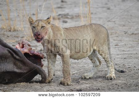 Lion Cub With A Kill