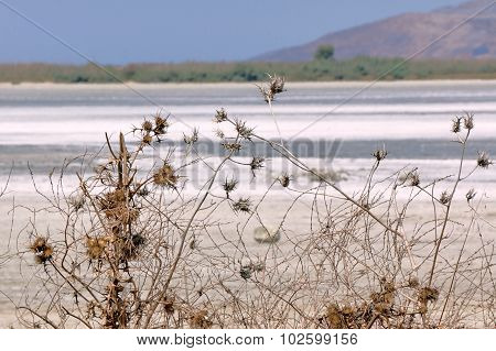 Thistles at the edge of the salt lake Alikes