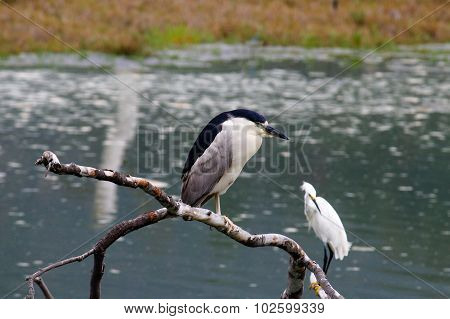 The Black-crowned Night Heron And The Snowy Egret At Malibu Beach In August