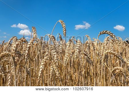 Ripe wheat ears in close-up