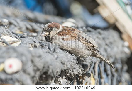 Sparrow Passer domesticus perched on a creel at the harbour