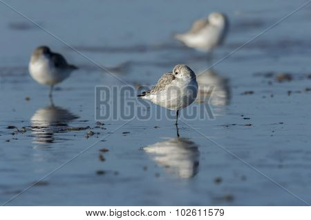 Sanderling, Calidris alba,having a rest on the shoreline