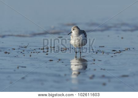 Sanderling, Calidris alba standing on the sand