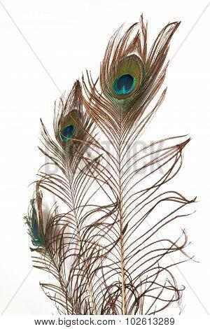 peacock feathe