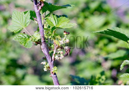 Spring Flowering Currant Branch In The Garden