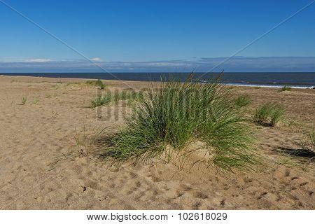 Marram Grass (ammophila Arenaria)