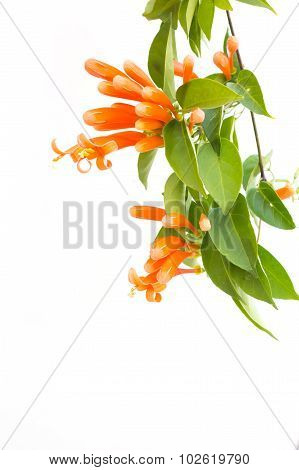 Close Up Orange Trumpet, Flame Flower, Fire-cracker Vine On White Background