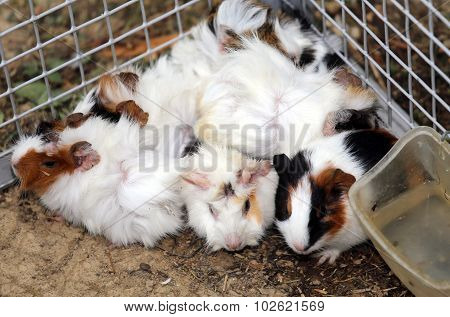Animal Farm With A Metal Cage With Many Young Rabbits