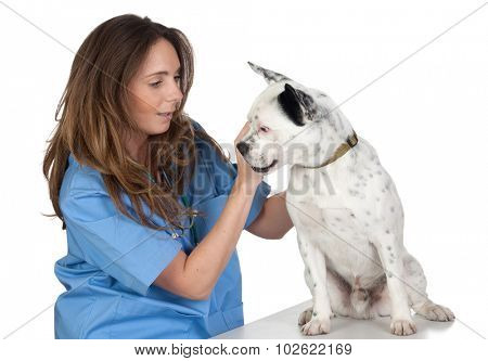 Young woman performing veterinary review a dog isolated on white background