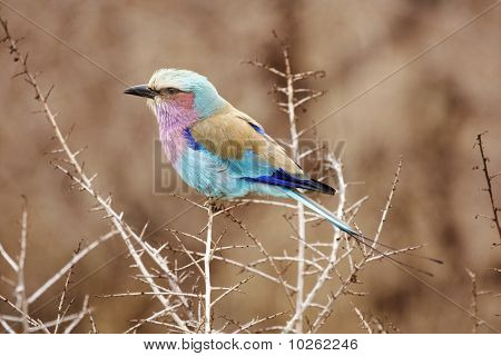 Lilac Breasted Roller In Thorn Tree