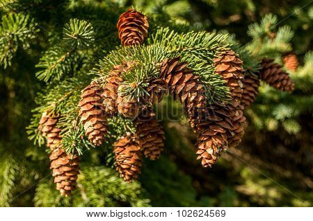 Bunch of Pine Cones