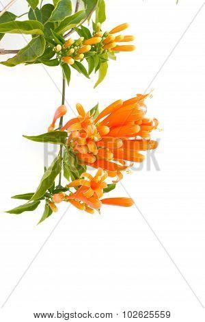 Close Up Orange Trumpet, Flame Flower, Fire-cracker Vine On White Background