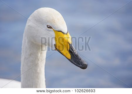 Whooper Swan Cygnus cygnus portrait close up