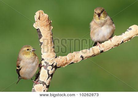 American Goldfinches (carduelis Tristis)
