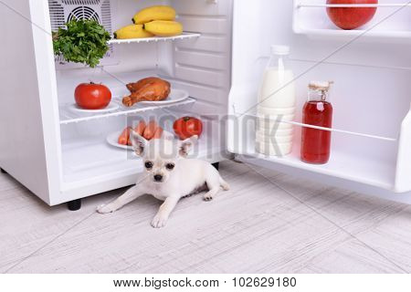 Adorable chihuahua dog near open fridge in kitchen