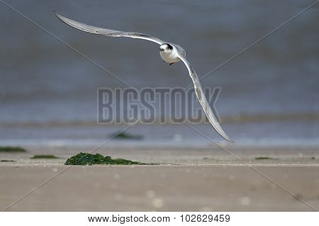 Common Sterna hirundo tern in flight in front of the shoreline