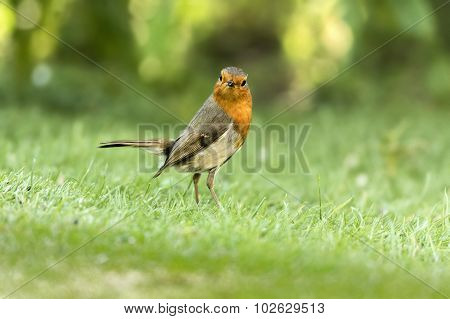 Robin, redbreast, standing on the grass, looking at the camera