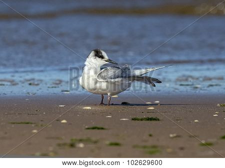 Common Tern Sterna hirundo juvenile on the beach