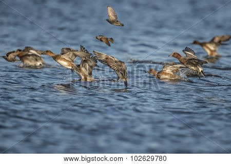 Wigeon Anas penelope flying from the sea