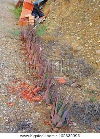 Struggeling Agave Plants