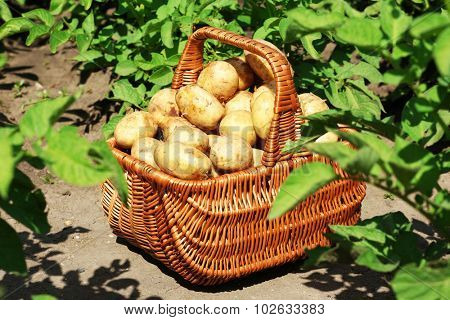 New potatoes in wicker basket over potato plantation