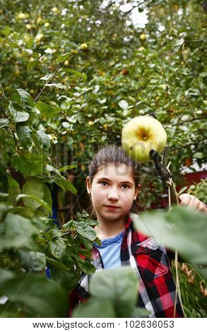 Teen Girl Help To Pluck Apples With Special Stick