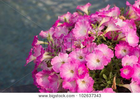 Petunia Flowers In Pot.