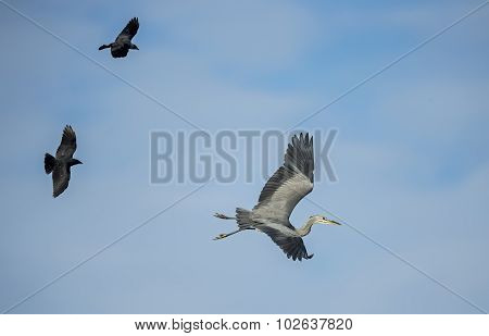 Grey Heron ardea cinerea being chased by two Crows