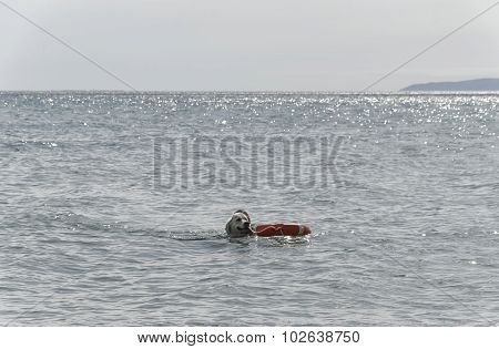 Dog Brings The Coach Out Of The Sea