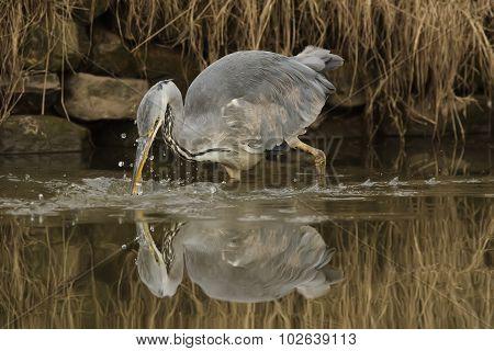 Grey Heron ardea cinerea fishing in a pond