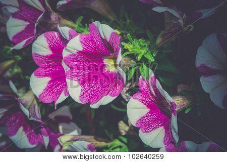 Vintage Petunia Flowers