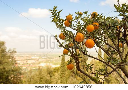 Orange Tree With Fruits On A Hill, Overlooking A Valley