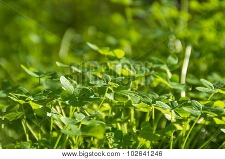 Green Shamrock Meadow On Sunlight